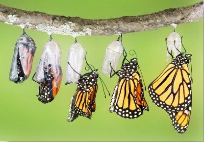 butterflyleavingchrysalis