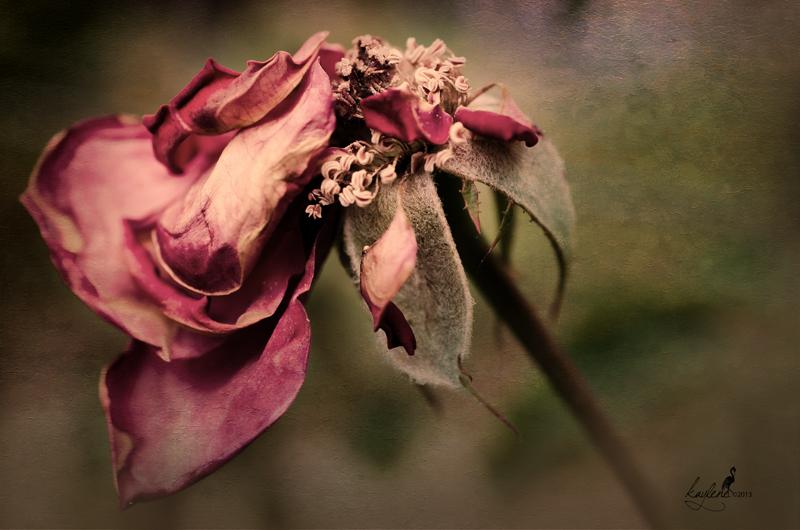 dryrose