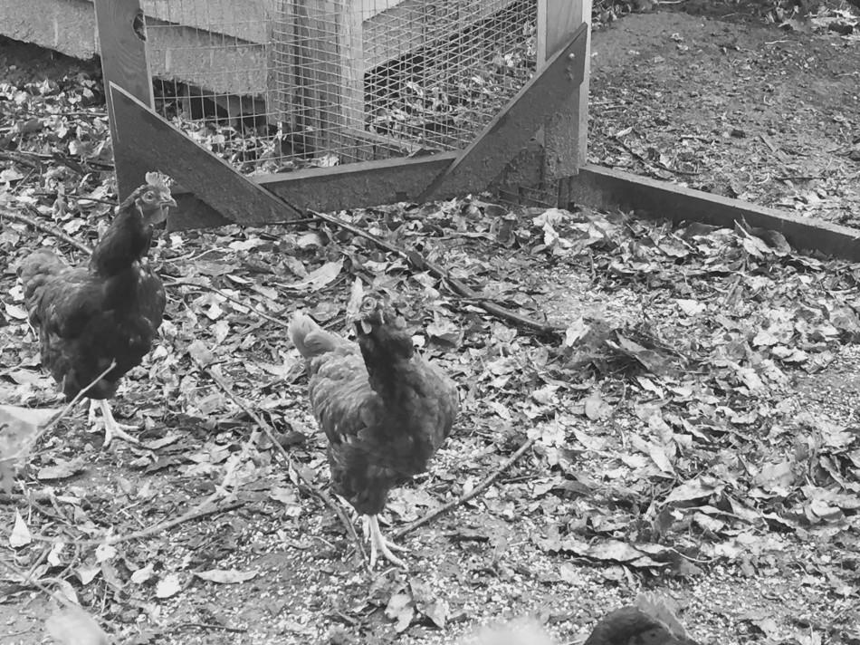 wetchickens